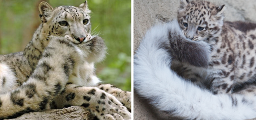 Featured-Snow-Leopards