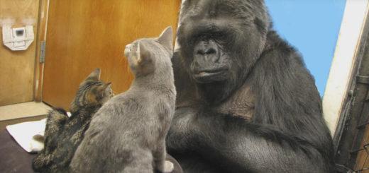 Featured-KoKo-Gorilla