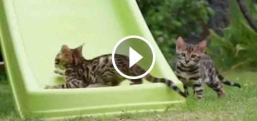 Featured-Bengal-Kittens-FB