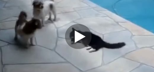 Featured-Cat-Pushes-Dog-Into-Swimming-Pool-FB