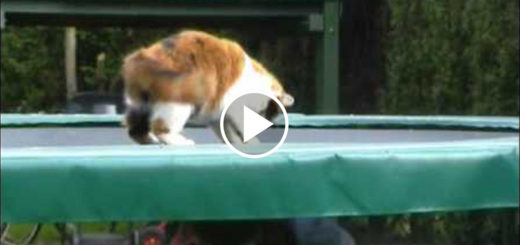 Featured-Cat-Trampoline-FB