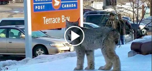 Featured-Wild-Lynx-Encounter-FB