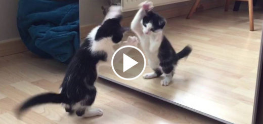 Featured-Kitten-Vs-MIrror-FB