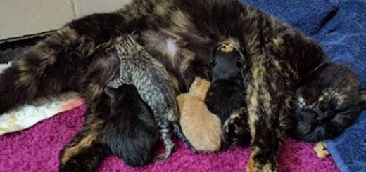 Featured-bobtail-calico-cat-FB