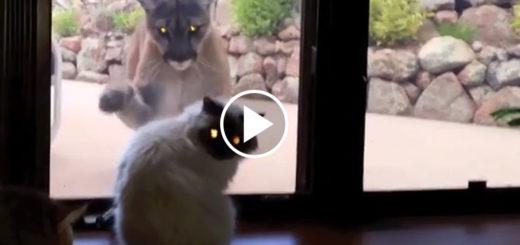 Featured-Cat-Lion-FB