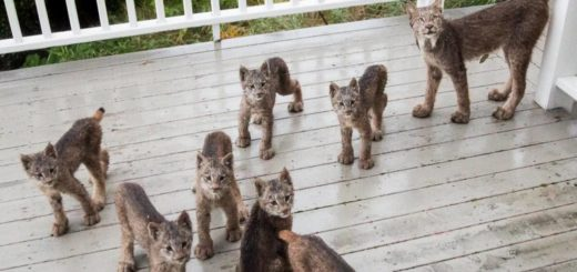 Featured-lynx-family-FB