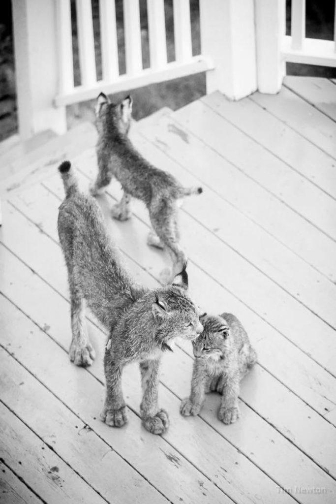 lynx-family-8